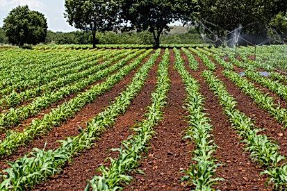 Maize farm shutter.jpg