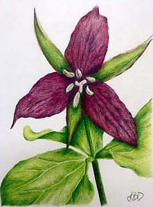 Lauren Ditmar - Red Trillium.jpg