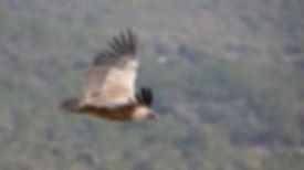 Gyps_Fulvus_in_flight 2.jpg