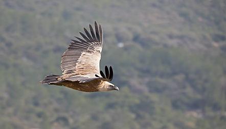 parapente avec les vautours à Gourdon
