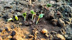 New kale seedlings