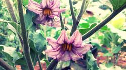 Flowering eggplant