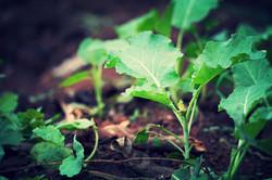 Kale seedlings, Dec 2015