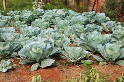 Cabbages round 2