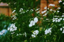 Coriander in flower
