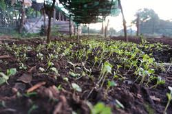 Sukuma seedlings (kale)