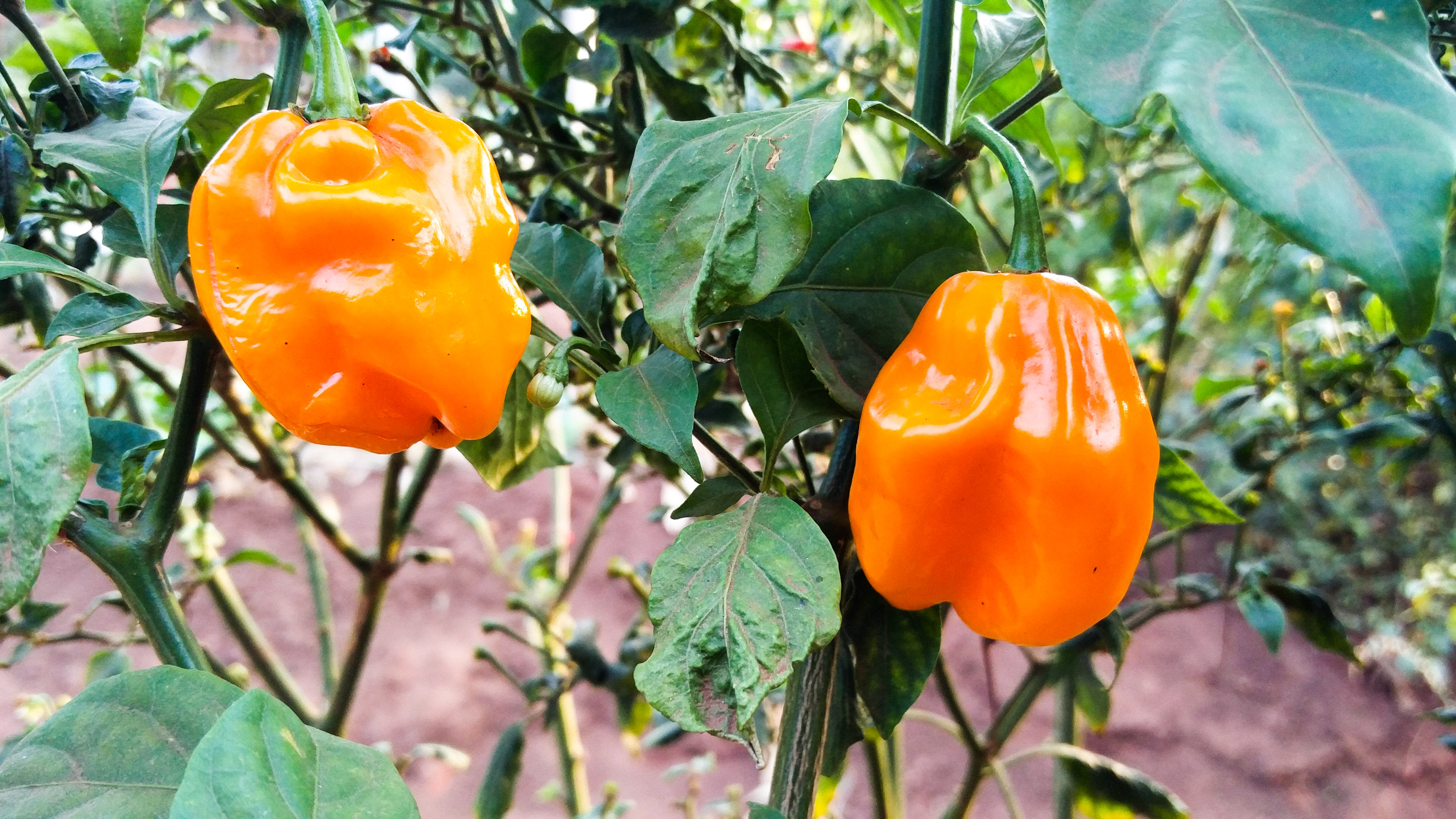 New pepper discovery