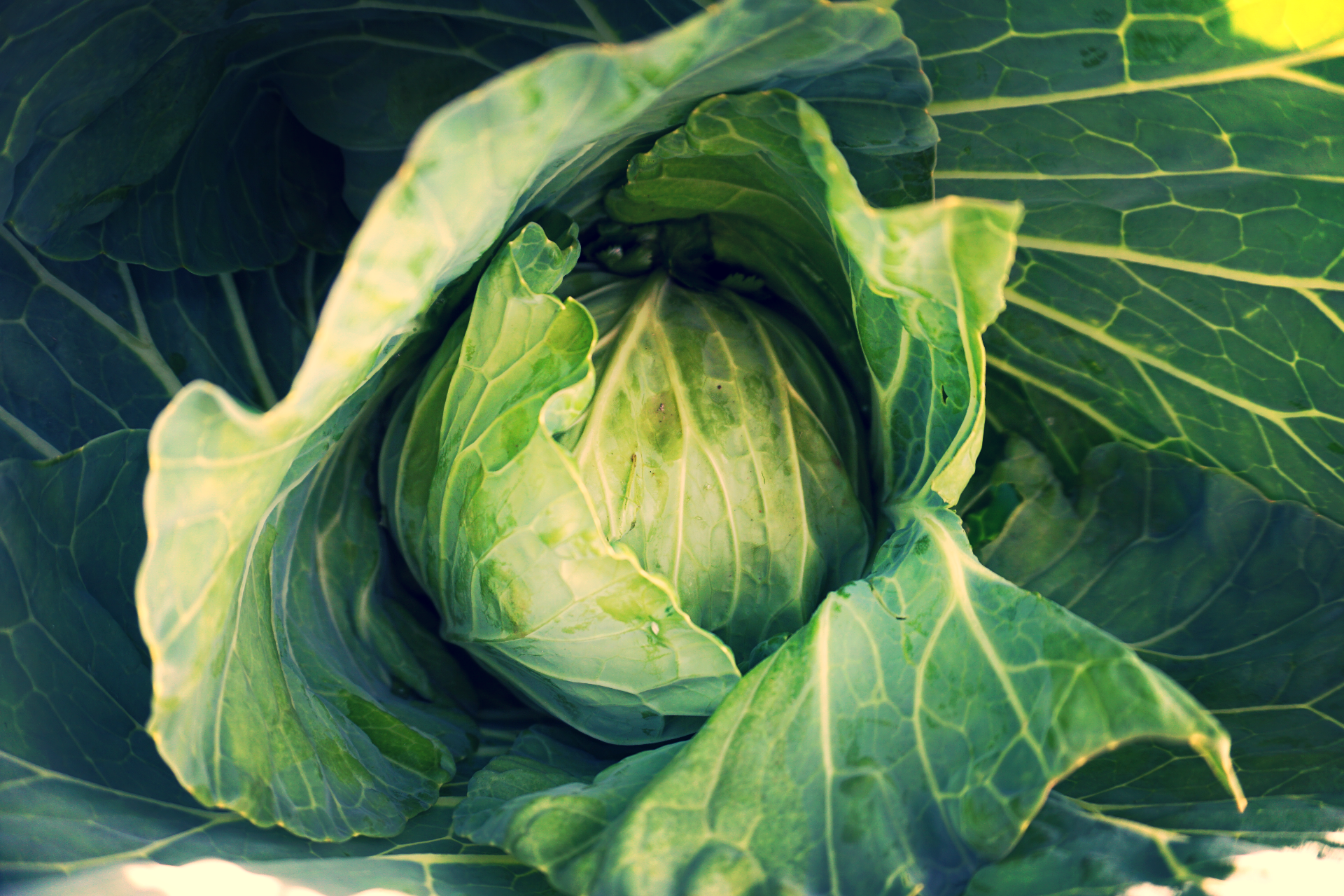 Cabbages folding