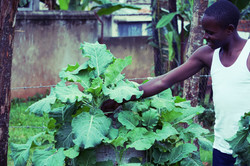 Harvesting kale from sacks
