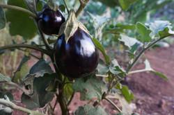 Eggplants arriving