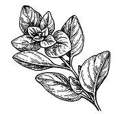 oregano-ink-sketch-vector-18886620.jpg