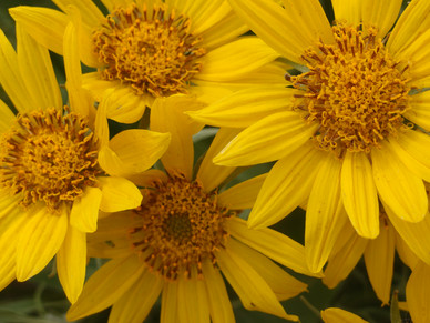 At the Center of the Sunflower:                                    A Summer Solstice Tale