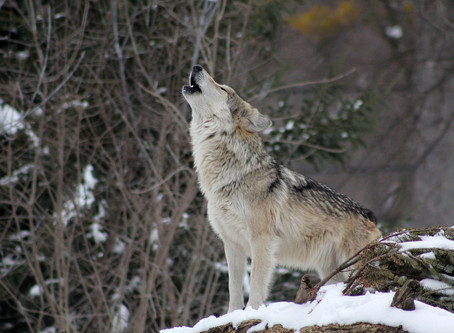 Reweaving Relationship:                        On Stewardship, Wholeness & Wolves