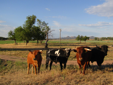 Lean, Clean and Green: Criollo Beef by Broken Horn D Ranch