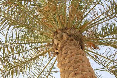 A l'ombre des palmiers-dattiers.