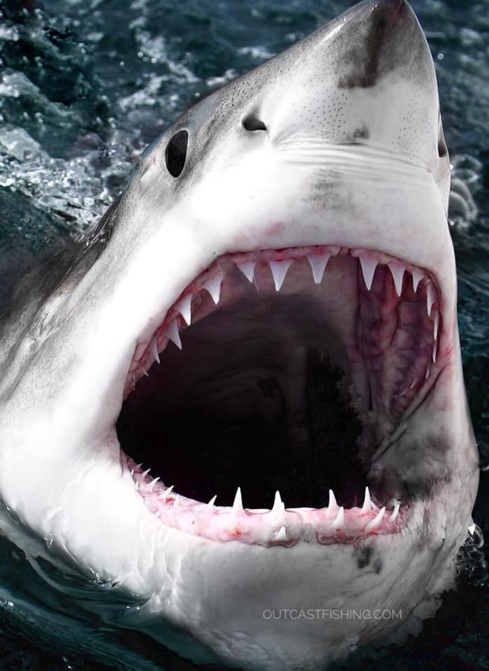 Great white shark coming out of the water with jaws open