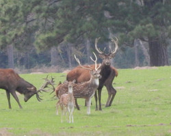 Red Stag & Axis