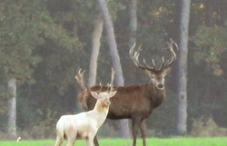 Red Stag and White Fllow