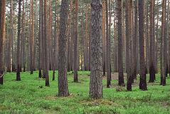 Scandinavian Pine