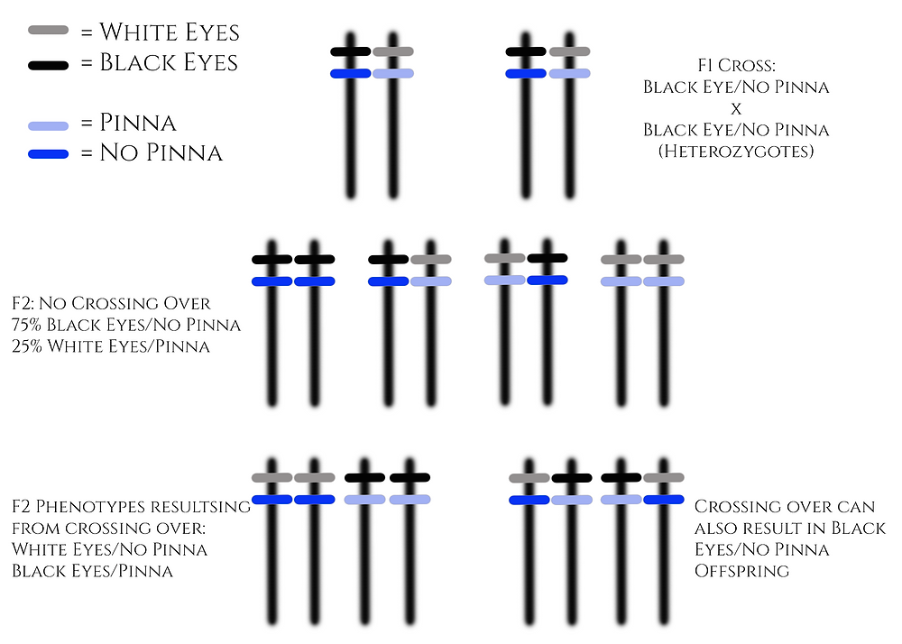 Diagram of possible chromosome combinations of F1 cross