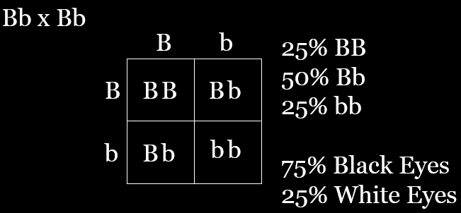 Punnett square to visualize F2 generation expected results for a heredity lab