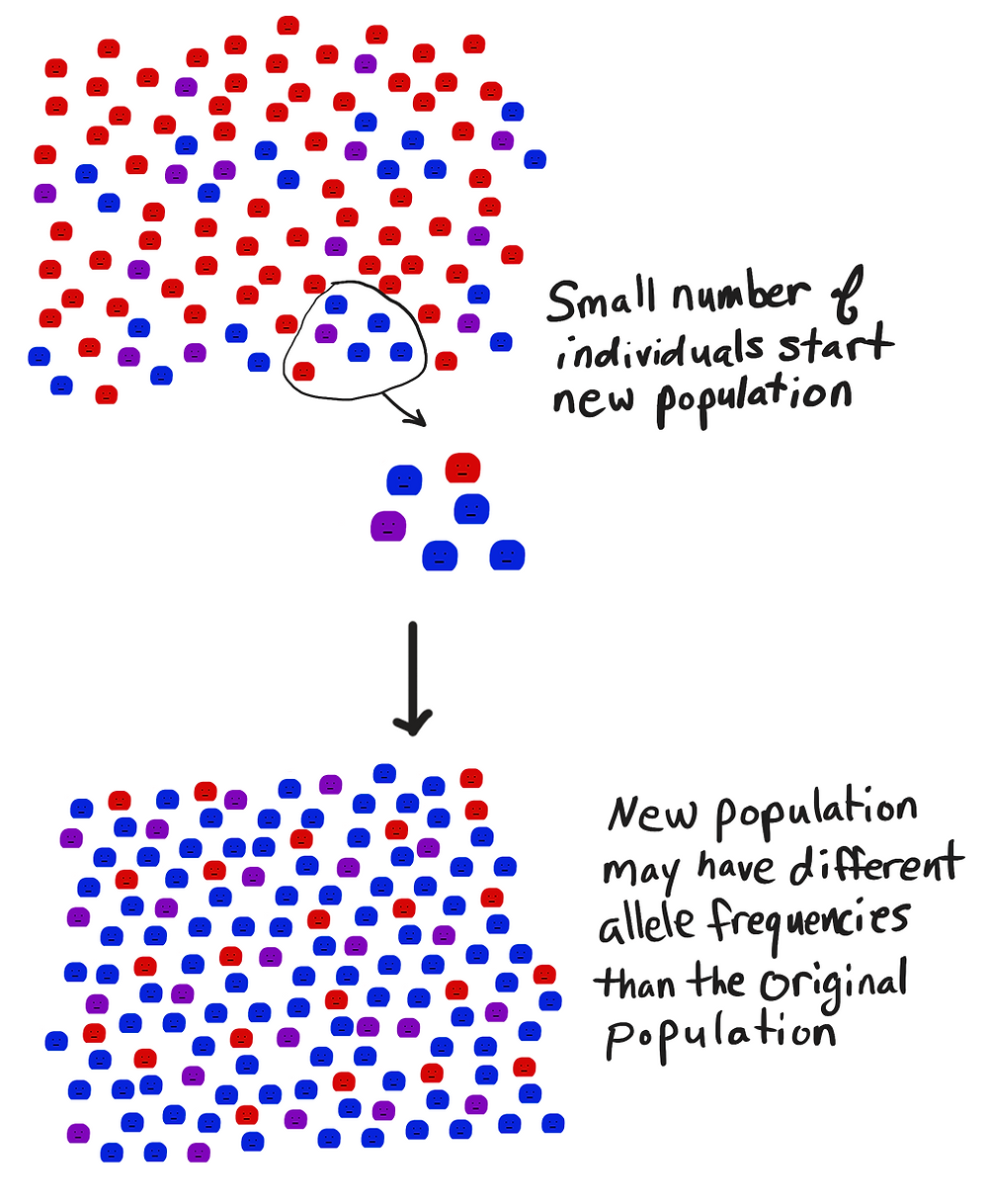 In the founder effect, a new population has different allele frequencies than the original population