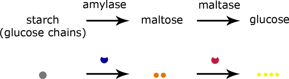 starch converted to maltose, catalyzed by amylase, maltose converted to glucose, catalyzed by maltase