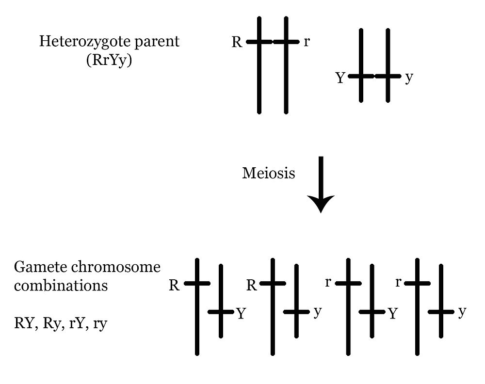 Gamete combination for a heterozygote parent in a dihybrid cross