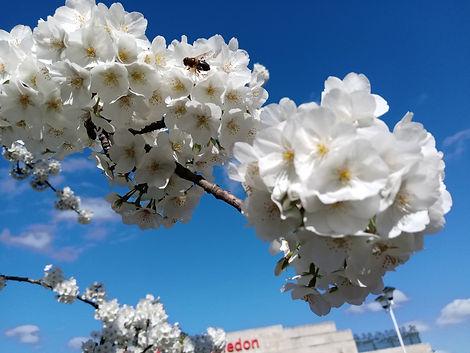 white cherry blossom.jpg