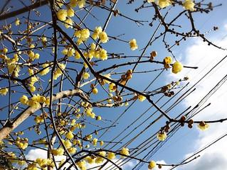 蝋梅の香りがいいですよ🌼