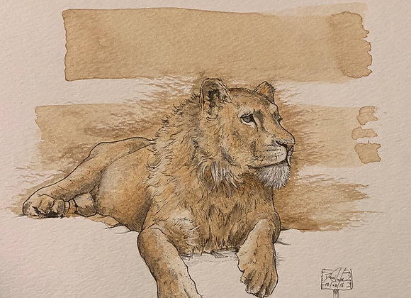 Lion sits coffee
