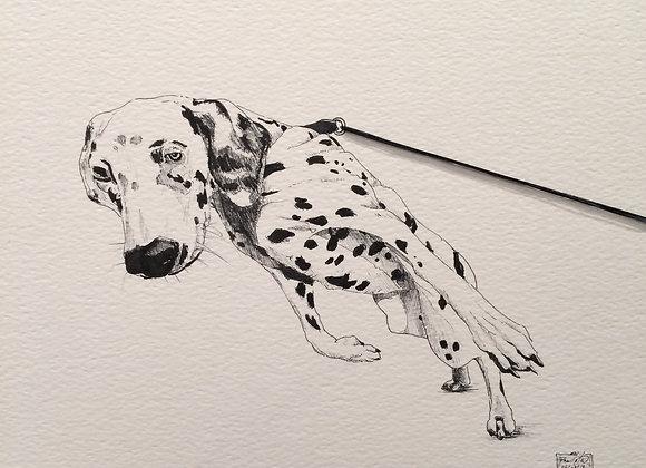 Dalmatian Walkies