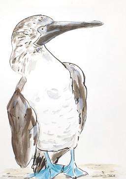 13 - 2019 - Blaufußtölpel - Mischtechnik  auf Papier- 29,7 x 42cm