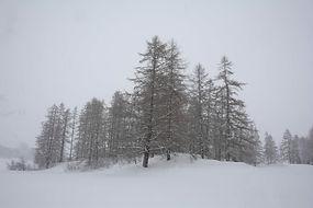 Mélèzes dans la solitude glacée de Haute Maurienne.