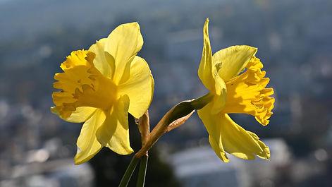 Jonquilles ou Narcisses trompettes.