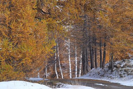 Bouleaux et mélèzes en tenue d'automne en Haute Maurienne.
