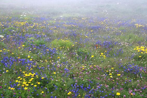 Incroyable profusion de fleurs dans les prairies de Haute Maurienne.