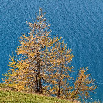 Peu à peu, les mélèzes s'instalent sur les rives du lac du Mont Cenis.