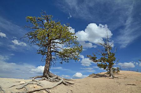 Blessés par les tempêtes ces deux conifères se dressent fièrement au bord du précipice.