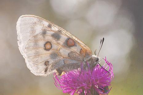 Papillon Apollon sur une fleur de chardon.