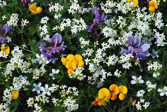 Tapis de fleurs en Haute Maurienne.