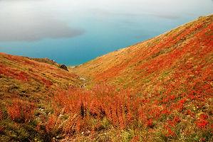 Myrtilliers et Epilobes en tenue d'automne sur les bords du lac du Mont Cenis en Haute Maurienne.