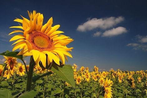 Fleur de tournesol, dressée vers le soleil.