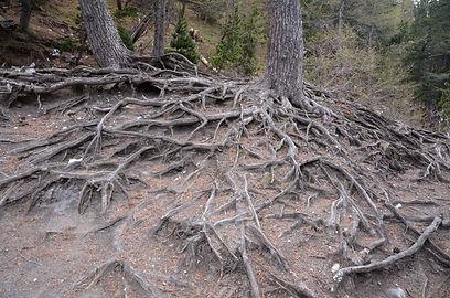 Ce vieux mélèze nous montre ses racines.