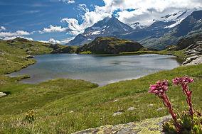 Joubardes au lac de Bellecombe en Haute Maurienne.