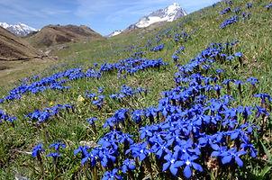 Fin mai, c'est l'époque des gentianes à Bellecombe en Haute Maurienne.