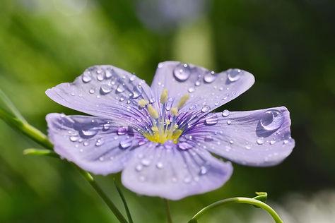 Fleur de lin après la pluie.