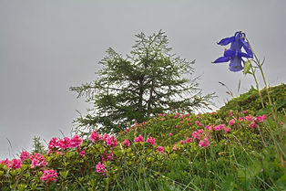 Ancolies et rhododendrons.