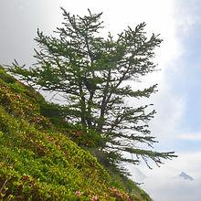Mélèze ayant réussi à braver les tempêtes à plus de 2000 mètres d'altitude.