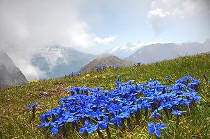 Gentianes bleues sur les hauteurs de Chamrousse face au massif de l'Oisans.